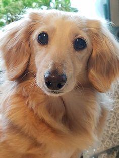 Long Haired Dachshund, Dachshund Puppies, Weenie Dogs, Dachshund Love, Cute Puppies, Cute Dogs, Dogs And Puppies, Hotdog Dog, Cute Little Dogs