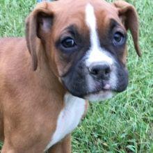 Cupcake Boxer Puppy 612516 Puppyspot In 2020 Boxer Puppies For Sale Boxer Puppies Puppies For Sale