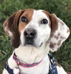 Kingsley's BFFs at Friends of Homeless Animals in Loudoun County, Virginia, say he's pretty much the best boy. He enjoys long walks, sits patiently for treats, and rides well in the car. He's also never said no to a good ear scratching!    Does he like the kitties? His only flaw! He gets along great with other dogs but is not a fan of cats.    Kingsley is 6 years old and weighs in at a sleek 55 pounds. Email dogapplications@foha.org to find out more about him and #AdoptPureLove! Loudoun County, Never Say Never, Awesome Dogs, Bffs, Walks, Best Dogs, Virginia, How To Find Out, Adoption