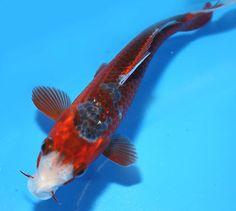 Live koi fish 7 8 white platinum gin rin ogon butterfly for Baby butterfly koi