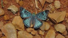 Black-patched Metalmark (Lasaia agesilas) - Photo by Gill Carter Moth Species, Butterfly Species, Beautiful Butterflies, Insects, Animals, Black, Butterflies, Fotografia, Animales