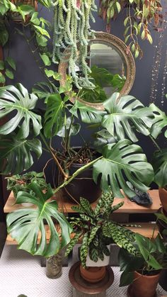 The monstera plant is a relatively easy plant to care for. Learn how to properly care for, grow and propagate your monstera deliciosa so that it thrives in your home. jungle living rooms How to care for and propagate your monstera plant