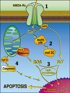 Signaling pathways in the Neurodegenerative Disease Program that can be targeted to prevent neuronal apoptosis and thus treat various neurologic diseases. BY (1) antagonize NMDA receptors (NMDA-Rc), (2) modulate activation of the p38 mitogen activated kinase (MAPK) - MEF2C (transcription factor) pathway, (3) prevent toxic reactions of free radicals such as nitric oxide (NO) and reactive oxygen species (ROS) and (4) inhibit apoptosis-inducing enzymes caspases.