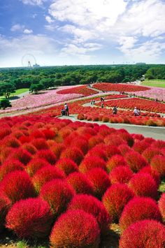 Hitachi Seaside Park - Hitachinaka, Ibaraki, Japan - The hills of Japan's Hitachi Flower Park blossom bright with about 30,000 bushes of Kochia, a bush whose leaves and stems turn red in October. A couple million light pink and white cosmos bloom alongside in the park's 153 hectacres.