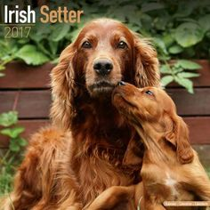Avonside Hunde-Kalender 2017Avonside Hunde Wandkalender 2017: Irish Setter