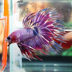 Live Betta Fish Male BIG ONE Fancy Marbled Pink Violet Crowntail CT