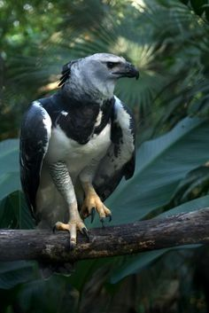 Harpy Eagle: Belize Zoo, Belize