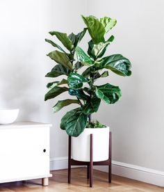"""The Fiddle Leaf Fig (Ficus lyrata) is the ultimate """"it"""" plant - so stylish! Big, violin-shaped leaves take importance in any open space. Fake Plants Decor, House Plants Decor, Big House Plants, Big Leaf Plants, Green Plants, Tropical Plants, Hanging Plants, Potted Plants, Minimalist Apartment"""