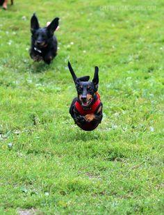 dachshund-running-mid-air.jpg (730×957)