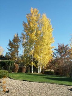 mature quaking aspen | QUAKING ASPEN CLUMP ©photo by ArborTanics inc.
