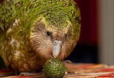 Kakapo Parrot, Parrot Pet, Cute Owl, Trees And Shrubs, Habitats, New Zealand, Cute Animals, Birds, Pets
