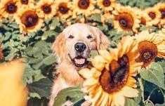 Dog Day Afternoon, Fields Of Gold, Sunflower Fields, Cute Creatures, Cute Animals, Bloom, Puppies, Golden Retrievers, Pets