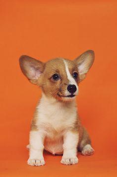 Par ailleurs, il est rarement touché par les maladies héréditaires mais s'avère être tout de même prédisposé aux problèmes de santé liés à sa moelle épinière ou encore à ses yeux.  #Welsh_Corgi_Pembroke #Caniprof #Chien Brown Puppies, White Puppies, Puppy Images, Puppy Pictures, Dog Photos, Welsh Corgi Pembroke, French Dogs, Puppy Sitting, Dog Training Classes