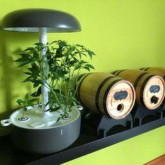 @paneeshopping Peperoncino in crescita nel mio Plantui #plantui #plantuismartgarden #giardinoidroponico #chilypeppers Hydroponics, Instagram, Hydroponic Gardening, Aquaponics