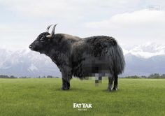 Foster's Fat Yak: Alcohol