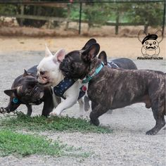 When you know it is Monday but friends make it so much better. See more of adorable French bulldog, Cooper, at: WeeWeeFrenchie.com