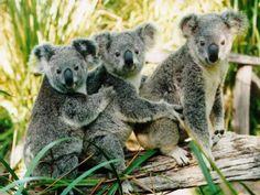 Google Image Result for http://netdna.crush.org/wp-content/uploads/2011/06/koalas.jpg