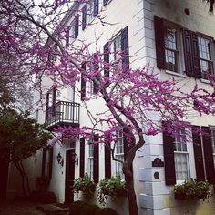 Stunning tree with purple flowers in the #FrenchQuarter. No idea what kind of tree.  I should probably know because #neature. But it's gorge.  #Charleston #QueenStreet by kevdeese2014