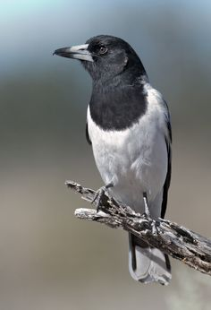 The Pied Butcherbird - Cracticus nigrogularis, is a medium-sized songbird native to Australia. All Birds, Birds Of Prey, Animals And Pets, Cute Animals, Wild Photography, Australia Animals, Rabe, Australian Birds, Colorful Birds