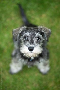 Miniature schnauzer puppy by Ruth Black for Stocksy United