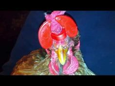 DOMACE ZIVOTINJE - UZGOJ: how we managed to put the eyeglasses on the hen's ...
