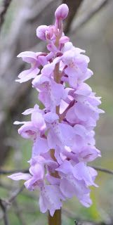 Orchis mascula var. albiflora