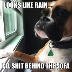 Animal memes of the day. Here are top funny animal memes of the day to make you impossible to laugh. Funny Animal Memes, Dog Memes, Funny Animal Pictures, Dog Pictures, Funny Dogs, Funny Animals, Cute Animals, Funny Memes, Boxer Memes