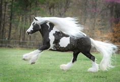 Austin | Gypsy Vanner Horse Stallion | Chocolate Dapple |Griffin Sport Horses | http://www.griffinsporthorses.com