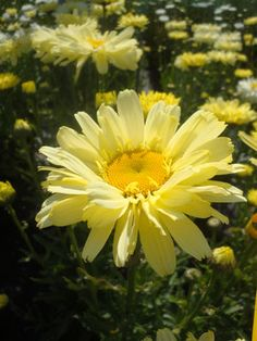 "Shasta Daisy 'Real Dream' Leucanthemum superbum - Large flowers have 3 layers of petals that start off yellow and fade to white as they mature. Height 16-18"". Zones 4-9"