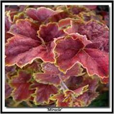 Dan Heims of Terra Nova Nurseries takes a seat at the table with DG writer Terri Lewin to answer your questions about the rapidly evolving and wildly popular world of Heucheras.