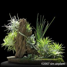 Tillandsia Bonsai