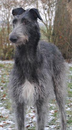 Scottish Deerhound on Pinterest | Irish Wolfhounds, Wolfhound and Dogs