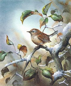David A Finney | Winter Wren