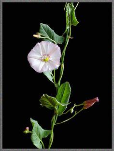 bindweed & many other flowers - microscopy uk