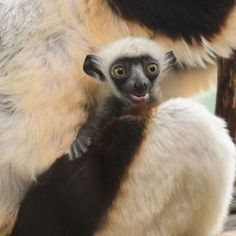 """Kapika, which means """"peanut"""" in Malagasy, was born at the Saint Louis Zoo."""