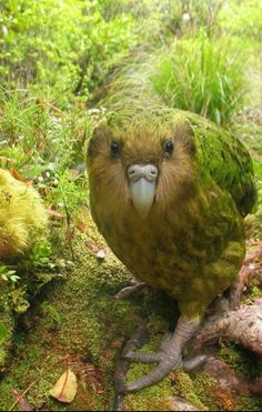Rare kappa. Largest and rare parot, in New ZEALAND.