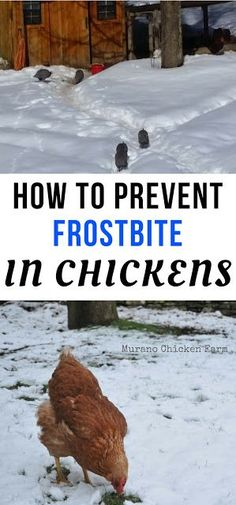 How to prevent frostbite in chickens.