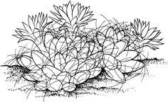 Nipple Cactus
