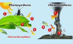 Photosynthesis vs. Chemosynthesis: Most living organisms rely on photosynthesis, but sunlight doesn't reach the bottom of the ocean. Investigate the similar process of chemosynthesis to discover how deep-sea microbes get their energy... Interactive, quiz