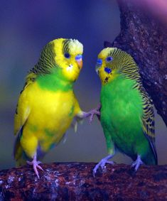 Although pathetic to onlookers, budgie fights are taken seriously by the participants, leading to savagely ruffled feathers and grievously bruised feelings.