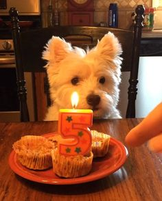 I was so excited to eat my pupcakes, I didn't want to wait for my humans to finish singing! #happybirthday #birthday #birthdayboy #birthdaycake #birthdaycelebration #birthdayparty #birthdaydog #birthdaypup #westie #westies #westiesofinstagram #westielove #westiegram #westiemoments #ilovemydog #ilovemylife #ilovemywestie #dog #dogsofinstagram #dogstagram #dogoftheday #doglover #dogs #doglovers #doglife #dogslife