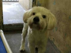 ~ Animal ID #A4829650 ‒ My Name is MIKEY. I am a Male, White Miniature Poodle mix. The shelter thinks I am about 2 years old. I have been at the shelter since May 12, 2015. L.A. County Animal Care & Control: Downey Telephone ‒ (562) 940-6898 11258 South Garfield Avenue Downey, CA Fax: (562) 869-1777 https://www.facebook.com/OPCA.Shelter.Network.Alliance/photos/pb.481296865284684.-2207520000.1432024203./821940681220299/?type=3&theater