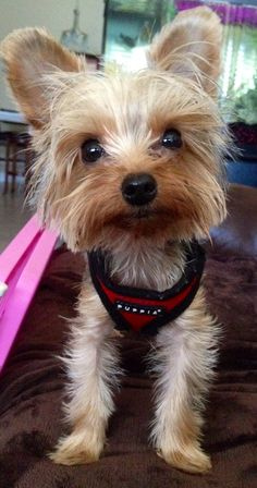 Leia-11 month old Yorkie ❤