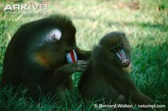 Mandrill male allogrooming female. Shows sexual dimorphism.