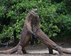 Komodo dragon fight - Animal fights,,,it looks like they're dancing