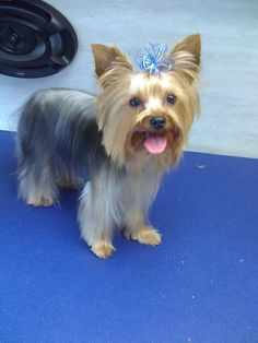 Marvelous Yorkie Little Things And Learning On Pinterest Short Hairstyles Gunalazisus