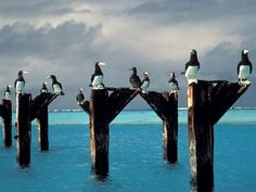 Brown boobies stake out positions atop the posts of an old pier at Johnston Atoll National Wildlife Refuge in the Pacific. Obama Is Working To Protect An Unknown Tropical Paradise Navassa Island, Islands, Marine Reserves, Parcs, Animals Of The World, Tropical Paradise, The Great Outdoors, Worlds Largest, Remote