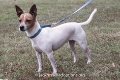 Adoptable Jack Russell Terrier, Sasha, Georgia Jack Russell Adoptions | Georgia Jack Russell Rescue, Adoption and Sanctuary