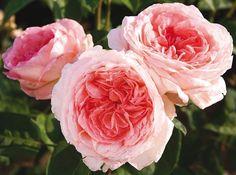 Rosier Liv Tyler ® Meibacus, rosiers à grandes fleurs Meilland Richardier