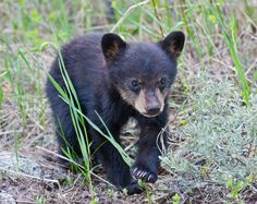 Image detail for -Black Bear Spring Cub, Yellowstone National Park   Baby Mammal Images